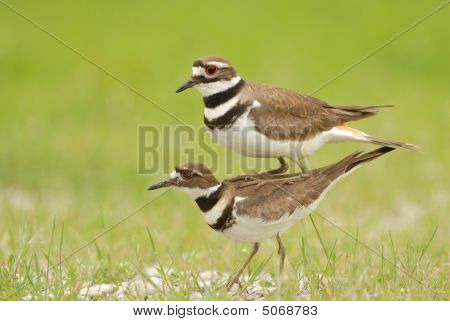 Killdeer Behavior