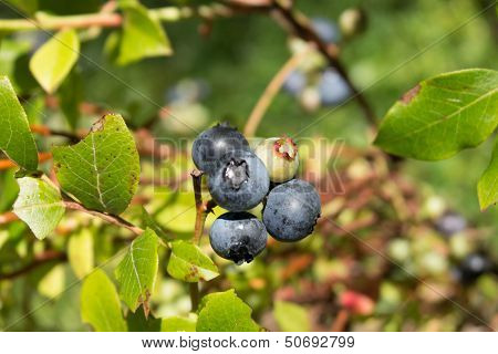Blueberries Ripe Close