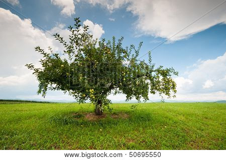 Lone Apple Orchard Tree in South Carolina's Upcountry