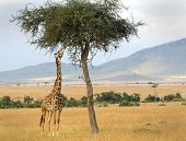 An African Giraffe(Giraffa camelopardalis) on the Masai Mara National Reserve safari in southwestern Kenya. poster
