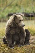 Coastal brown bear sitting on stream bank watching for salmon in Lake Clarke National Park Alaska poster