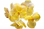 Yellow thai orchid flowers on isolated white background. poster