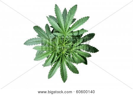 A Genuine Medical Marijuana Plant. Marijuana AKA Pot, Dope, Mary Jane, Splif, Joint,Ganja, Weed, 420, Herb, Medicine, Hash, Hemp is used as medicine. Isolated on white with room for your text.