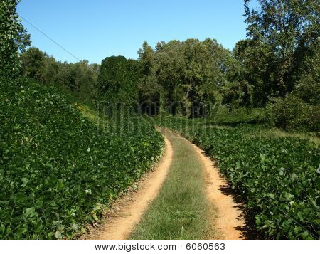 Road Covered In Kudzu