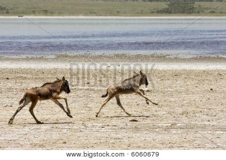 Orphaned baby wildebeests near lake Ndutu in Serengeti National Park Tanzania. poster