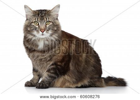 Maine Coon cat. Portrait on a white background poster