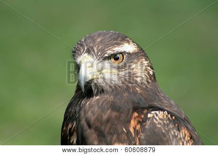 Face of a Harris Hawk