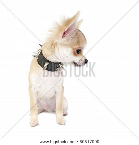 Chihuahua puppy with black leather studded collar looking to right isolated