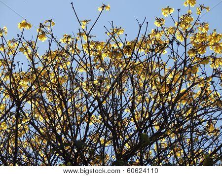 Araguaney tree