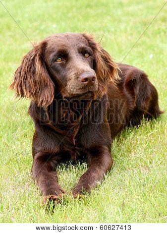 Portrait Of German Spaniel Dog