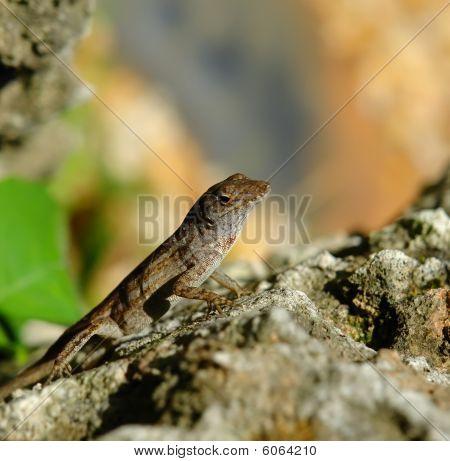 Lizard on stone