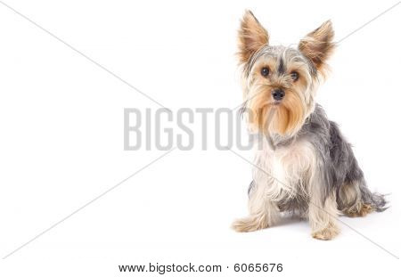 Yorkshire Terrier With Copyspace