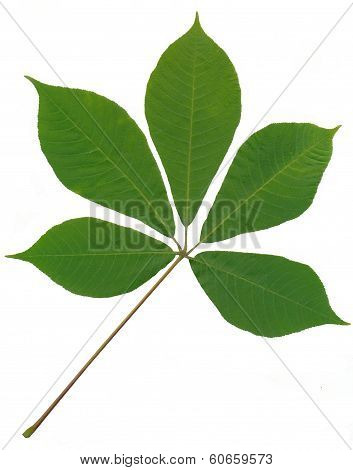green leaf of horse chestnut tree close up