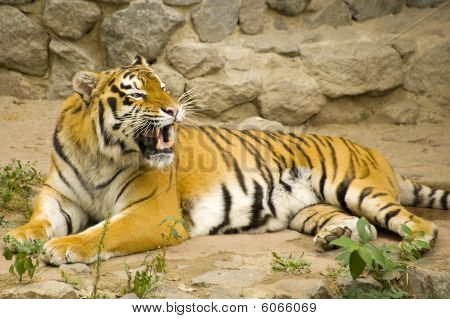 young Amur tiger