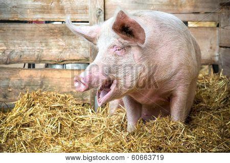 Pig On Hay