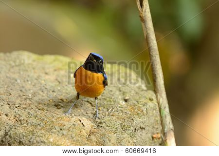 beautiful male Rufous-bellied Niltava (Niltava sundara) in Thai forest poster