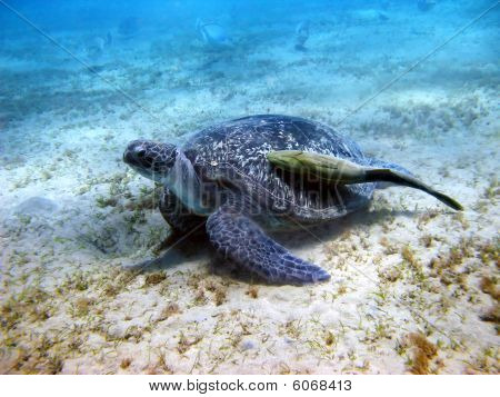 Sea Turtle And Suckerfish