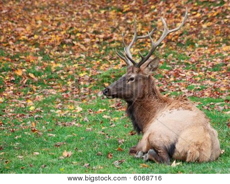 An elk is lying down on the grass on a fall day. poster