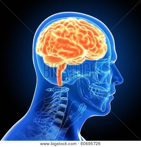 Human Male Brain Scan