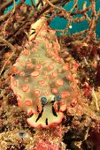 Nudibranch Sea Slug poster