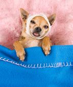 tiny chihuahua in bed with a headache poster