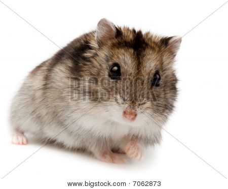 Djungarian, Asian, Siberian, Campbells, Winter White Russian Dwarf Hamster, Phodopus Sungorus