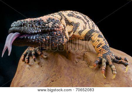 Gila monster / Heloderma suspectum