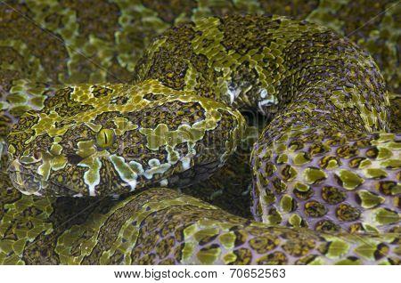Mangshan pit viper / Zhaoermia mangshanensis