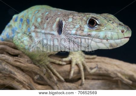 Spanish occelated lizard / Timon nevadensis