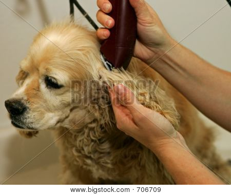 Clipping the ear