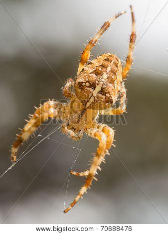 Cross Spider In Web