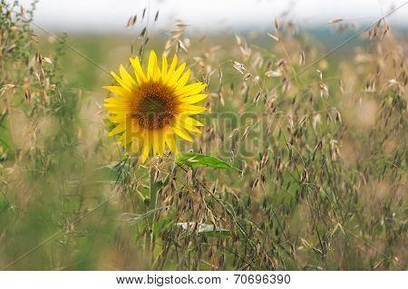 Sunflower (lat. Helianthus) in cornfield, Pfalz, Germany