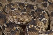 The Egyptian saw-scaled viper is a highly feared, highly venomous, camouflaged snake species found in Northeast Africa and the Middle East. poster