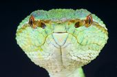 """Temple pit vipers are medium sized tree snakes capable of """"seeing"""" their prey in the dark of night thanks to their heat sensing pits under the eyes. poster"""