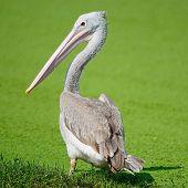 Beautiful waterbird Spot-billed Pelican ( Pelecanus phillippensis) back profile poster
