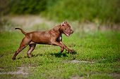chocolate american pit bull terrier puppy outdoors poster