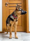 Five month German Shepherd puppy waiting by the doors poster