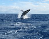 Landscape view of a Humpback Whale breaching in the waters of West Maui, Hawaii poster
