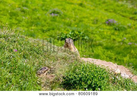 Marmot peeps out of the hole in an alpine meadow