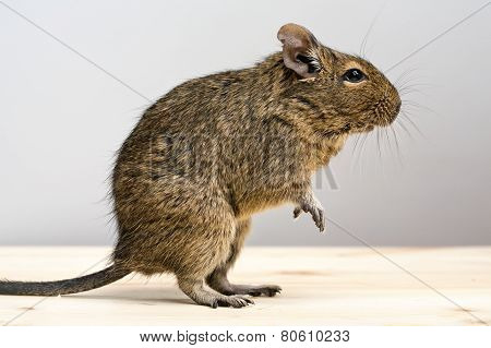 Degu Rodent In Profile