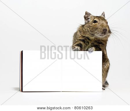 Cute Degu Rodent With Blank Poster In Paws