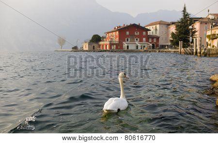 Swan Exploring The World