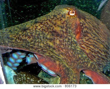 octopuseyeBS
