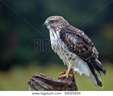 Sitting Broad-winged Hawk