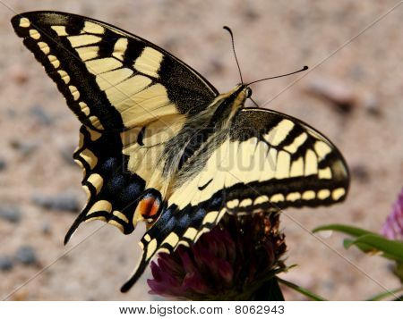 Papilio Machaon, Swallowtail Butterfly