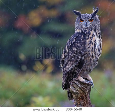 Wet Eurasian Eagle Owl