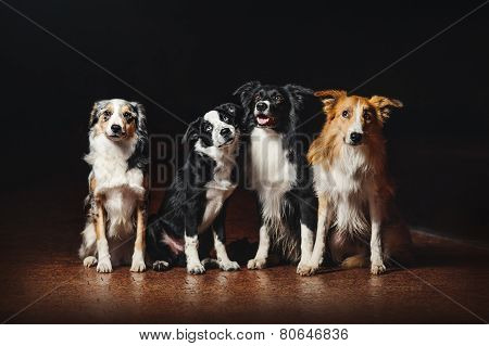 Group Of Happy Dogs Border Collies