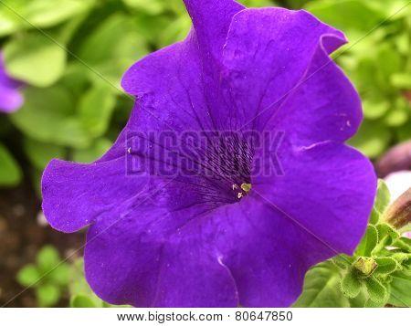 Violet Petunia Closeup