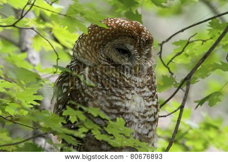Spotted Owl (Strix occidentalis lucida) in a tree with a green background poster