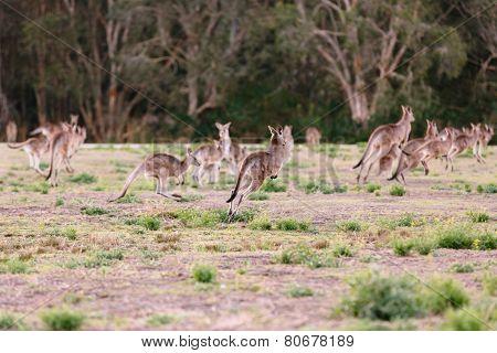 Herd of kangaroos run away (Coombabah Lake QLD Australia) poster